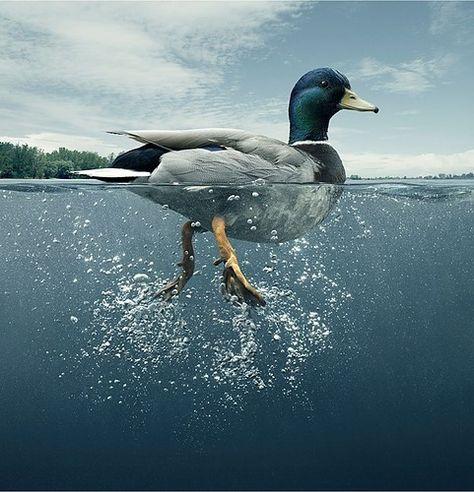 Ducks on aPond